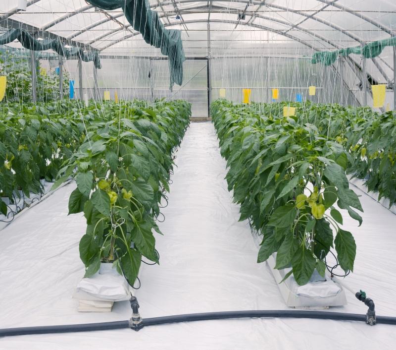 Zöldség termesztés
